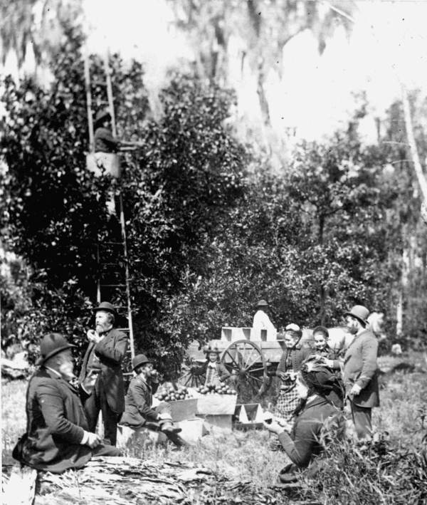 Picking Oranges in Citra - Early 1900's